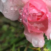 Pluviophile Rose in Autumn by Stephanie Thomas Berry
